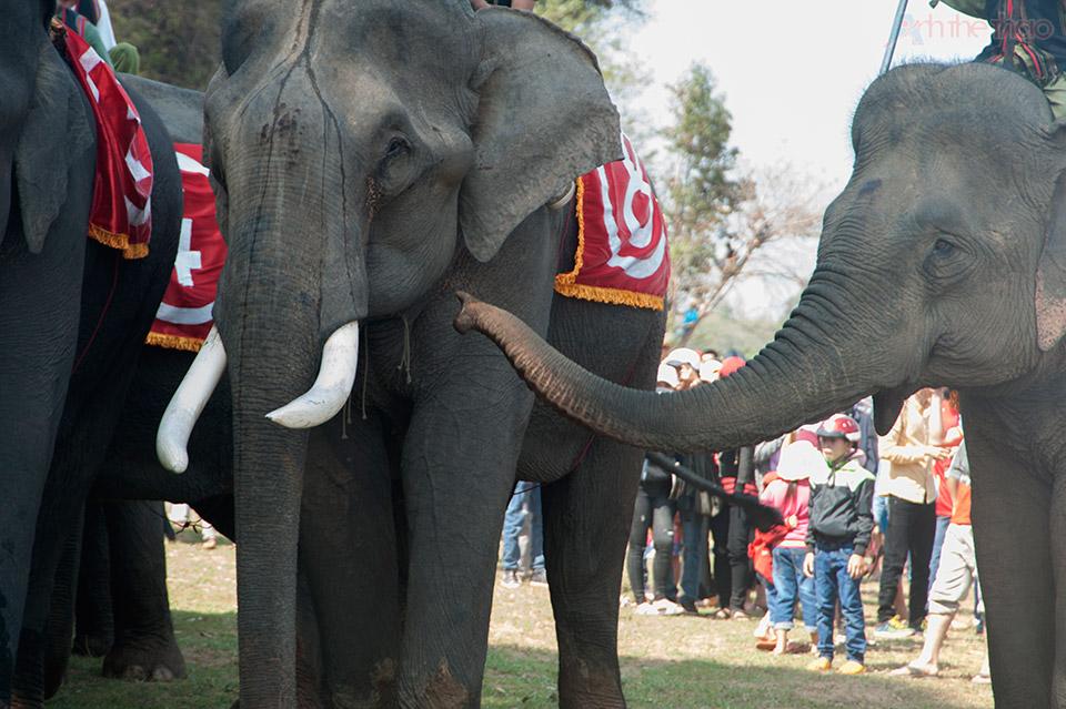 Chú voi nhỏ này cứ đeo theo con voi to, chắc bạn tình
